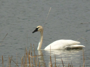 swans600