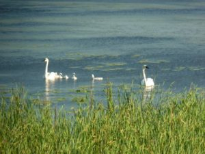 Trumpter Swans with 5 cygnets
